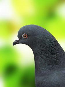 1142825_pigeon