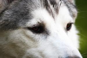 Pies dziki