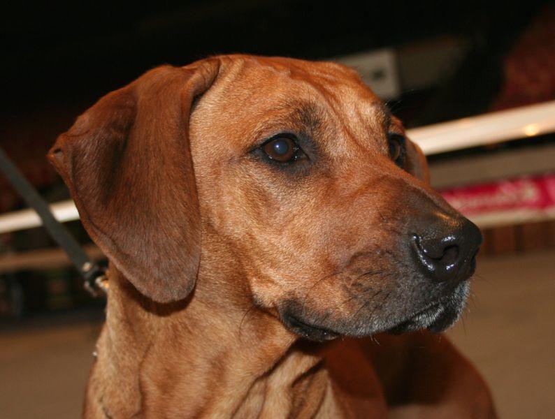 Naukowcy badają genom psa w poszukiwaniu genów chorób